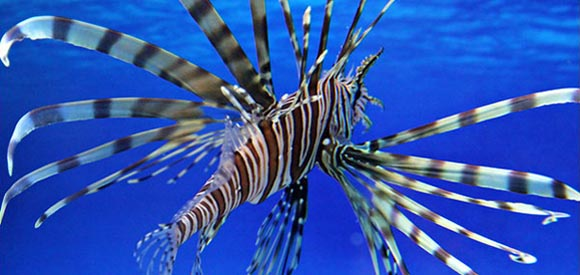 Florida Keys Declare Open Season on the invasive Lionfish